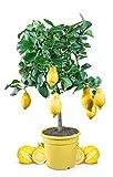 Meine Orangerie Zitronenbaum Mezzo - echter Citrusbaum - 70 bis 100 cm - veredelte Zitrone im 6,5 Liter Topf - Citrus Limon - Lemon Tree - Fruchtreife Zitronen Pflanze in G