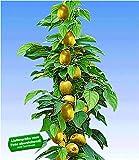 BALDUR Garten Säulen-Kiwi 'Issai', 1 Pflanze selbstfruchtend Stachelbeer-Kiwi winterharte Obstp