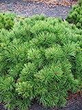 Zwergkiefer, Pinus mugo var. pumilio 30 - 40 cm breit im 5 L