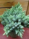 blauer Zwerg Wacholder Juniperus squamata Blue Star 15-20 cm hoch im 2 L