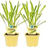 Bio Zitronengras (Cymbopogon citratus), Kräuter Pflanzen aus nachhaltigem Anbau, (2 Pflanzen im Set)