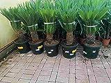 Cycas Revoluta 100-120 cm XXL Stamm Palmfarn Sagop
