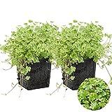 Gemeiner Pennywort | Hydrocotyle 'Variegata' 2x - Teichpflanze & Sauerstoffpflanze im Aufzuchttopf cm11 cm - 15