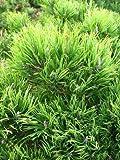 Bergkiefer, Pinus mugo var. mughus Krummholzkiefer 20-30 cm breit im 3 L