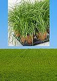 3 Stück Premium Katzengras Pflanze mit Topf Cyperus Zumula Ø 12 cm   Cyperus Katzengras fertig gewachsen   Leckereien für Katzen Gras Pflanze Katzengras Topf Cat G
