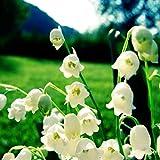 10 Stück Maiglöckchen Zwiebeln Natürlich schöne mehrjährige krautige Blumen Aromatische Landschaft Dekoration Anziehend Schmetterlinge und Bienen Umfangreiche Gartenbau Gartenpflanzung