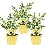 Bio Grill - Wacholder, (Juniperus communis 'Meyer'), bekannter Wacholderstrauch, Pflanzen aus nachhaltigem Anb