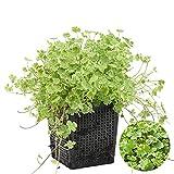 Gemeiner Pennywort | Hydrocotyle 'Variegata' - Teichpflanze & Sauerstoffpflanze im Aufzuchttopf cm11 cm - 15