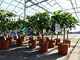 Citrus Sinensis Stamm Orangenbaum 90-110 cm Zitrus Orange Obstbaum mit Frü