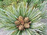 Pinus pumila Draijers Dwarf - zwergige Gelbk