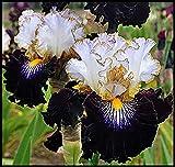 Iris Staude,Hochwertige Zwiebeln sind einfach zu züchten,Lilien Zwiebeln,IrisZwiebeln,Deutsche Schwertlilie,Seltene Pflanze-2 Zwiebeln,3