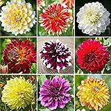 Dahlien Zwiebeln - Die Im Garten Gepflanzt Werden Können,Einzigartige Prächtige Farben,Blumen Blühen Seltene Blumen,Die Brillant Und Frisch Blühen-7 Zwiebelns,B