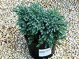 Juniperus squamata `Blue Star` - Blauer Zwerg-Wachholder - Pflanze - Zwergkonifere langsam wachsend im 17 cm Top