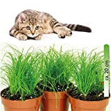 mgc24® Katzengras Cyperus zumula im 12er Topf ca. 20cm hoch - 3er S