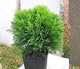 Thuja occ. 'Danica' - kugeliger Zwerg-Lebensbaum -Zwergkonifere langsam wachsend im 17 cm Top