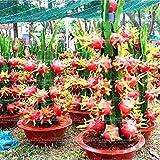 ChinaMarket 50pcs Bonsai Gragon Fruchtsamen Zwergobstbäume Bonsai Bio-Gemüse Lebensmittel Ob