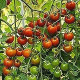 Zuckertraube Bio-Tomatensamen für ca. 10 Pflanzen - beliebte Sorte, süß und fruchtig